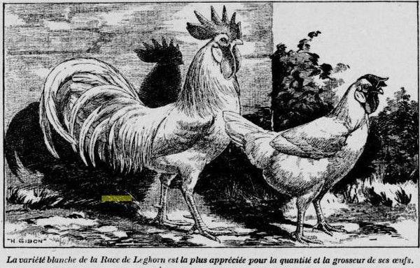 1922 : poulet