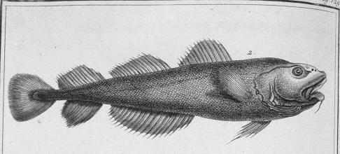 gade-morue-extrait-histoire-des-poissons-an-VIII-de-la-republique.jpg